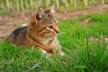 Striped cat on the grass cute little kitten playing close up Royalty Free Stock Image
