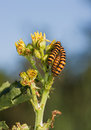 Striped caterpillars eating yellow flower Stock Photos
