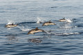 Striped dolphins playing in the air four Royalty Free Stock Photography