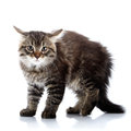 Striped fluffy angry tousled cat not purebred kitten kitten on a white background small predator small Stock Photography