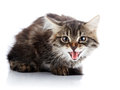 Striped fluffy hissing kitten not purebred on a white background small predator small cat Stock Image