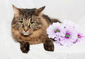 Striped fluffy Siberian cat with green eyes lying on gray Royalty Free Stock Photo