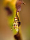 Striped Fly on Edge of Leaf Royalty Free Stock Photo