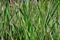 striped grass Royalty Free Stock Photo