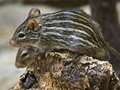 Striped grass mouse 1 Royalty Free Stock Photo