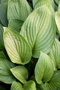 Striped Green Leaves Royalty Free Stock Photo