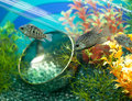 Striped grey fish in decorated aquarium Royalty Free Stock Photography