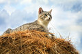 Striped grey little cat sitting on hay Royalty Free Stock Images
