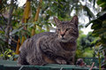 Striped Grey Tabby With Six Toes Royalty Free Stock Photo