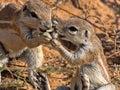 Striped Ground Squirrel, Xerus erythropus, watch the surroundings, Kalahari, South Africa Royalty Free Stock Photo