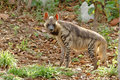 Striped hyena Royalty Free Stock Photos