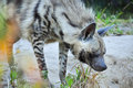 Striped hyena Royalty Free Stock Images