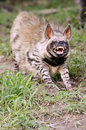 Striped hyena the african wildlife Stock Image