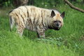 Striped hyena the gazing in the grass Royalty Free Stock Image