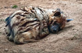 Striped hyena hyaena hyaena commonly known as sleeping on the ground Stock Photo