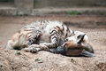 Striped hyena hyaena hyaena commonly known as sleeping on the ground Stock Image