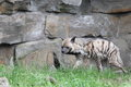 Striped hyena hyaena hyaena walking before rock Royalty Free Stock Photography