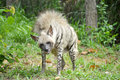 Striped hyena hyenas have a broad head with dark eyes a thick muzzle and large pointed ears Stock Image