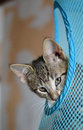 Striped kitten peeping slyly out of the blue grid Royalty Free Stock Image