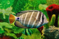 Striped marine fish Royalty Free Stock Photo