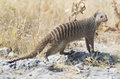 Striped mongoose etosha national park namibia africa Stock Photos