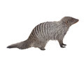 Striped mongoose. Realistic detailed illustration Royalty Free Stock Photo