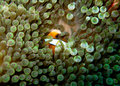 Striped orange clownfish hiding in bubble anemone Royalty Free Stock Photo