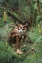 Striped Owl Royalty Free Stock Photo
