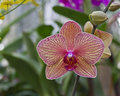 Striped Phalaenopsis Orchid Stock Images