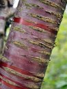 Striped red cherry tree trunk bark against a blurred green nature summer background Royalty Free Stock Photo
