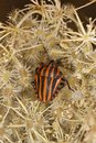 Striped shield bug Stock Photography