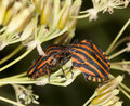 Striped shield bugs (Graphosoma lineatum) Royalty Free Stock Photo
