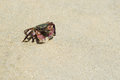 Striped shore crab pachygrapsus crassipes on a sandy beach Royalty Free Stock Photos