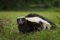 Striped Skunk Mephitis mephitis Looks Out from Ground