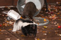 Striped Skunk (Mephitis mephitis) Walks Away from Trash Can with Royalty Free Stock Photo