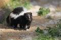 Striped skunk Royalty Free Stock Photo