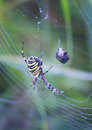 Striped spider big in the morning dew Royalty Free Stock Photos
