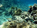 Striped surgeonfish and corals Royalty Free Stock Images