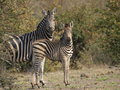 Striped zebra being curious watching carefully Stock Photos