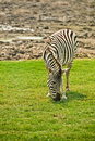 Striped zebra is grazed on meadow and eats grass Stock Image