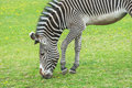 Striped zebra grazing on green meadow Royalty Free Stock Photo