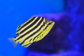 Stripey fish Royalty Free Stock Photo