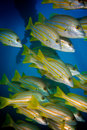 Stripey snappers under the Exmouth Navy Pier Royalty Free Stock Photo