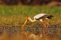 Strok in the nature march habitat. Stork in Africa. Bird in the water. Stork from Uganda. Yellow-billed Stork, Mycteria ibis, sitt Royalty Free Stock Photo