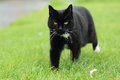Strolling black cat in the grass Royalty Free Stock Image