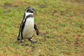 Strolling humboldt penguin the on the grass Royalty Free Stock Photography