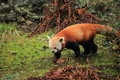 Strolling red panda in the grass Stock Photography