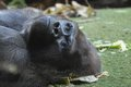 Strong adult black gorilla on the green floor Royalty Free Stock Photography