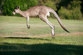 Strong male kangaroo hopping in the australian landscape full body pose in action Royalty Free Stock Photography