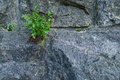 stock image of  Strong plant growing in a stone wall